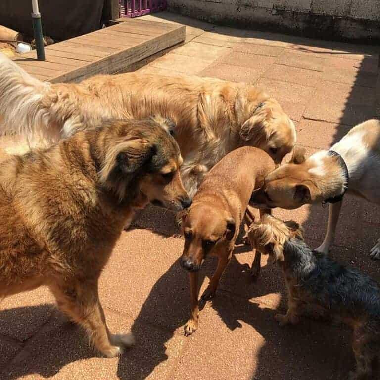 מפגש בין כלבים