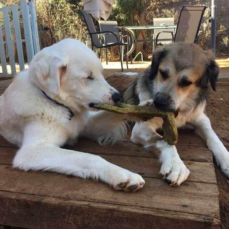 כלבים משוכים צעצוע