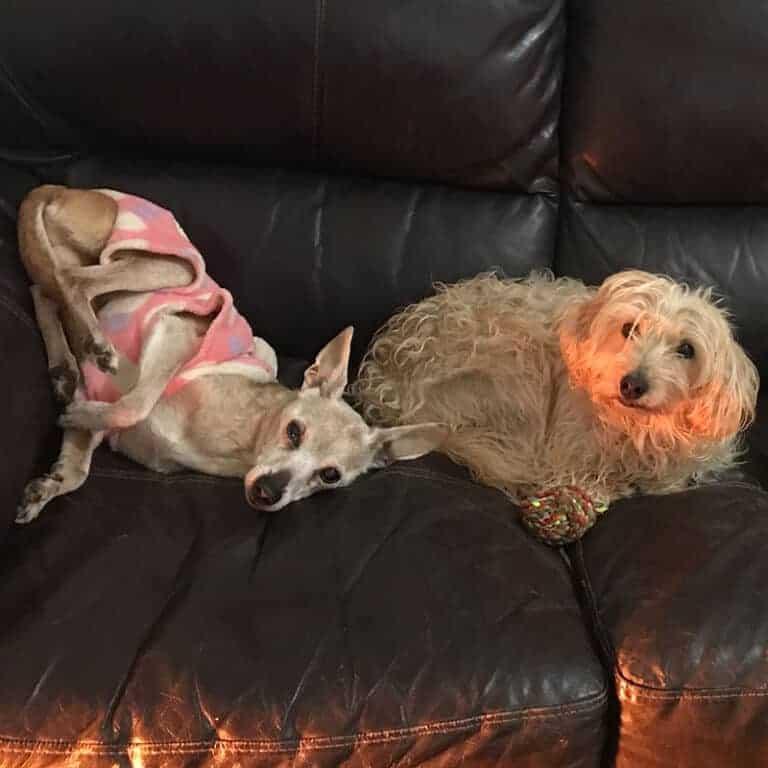 כלבים על הספה