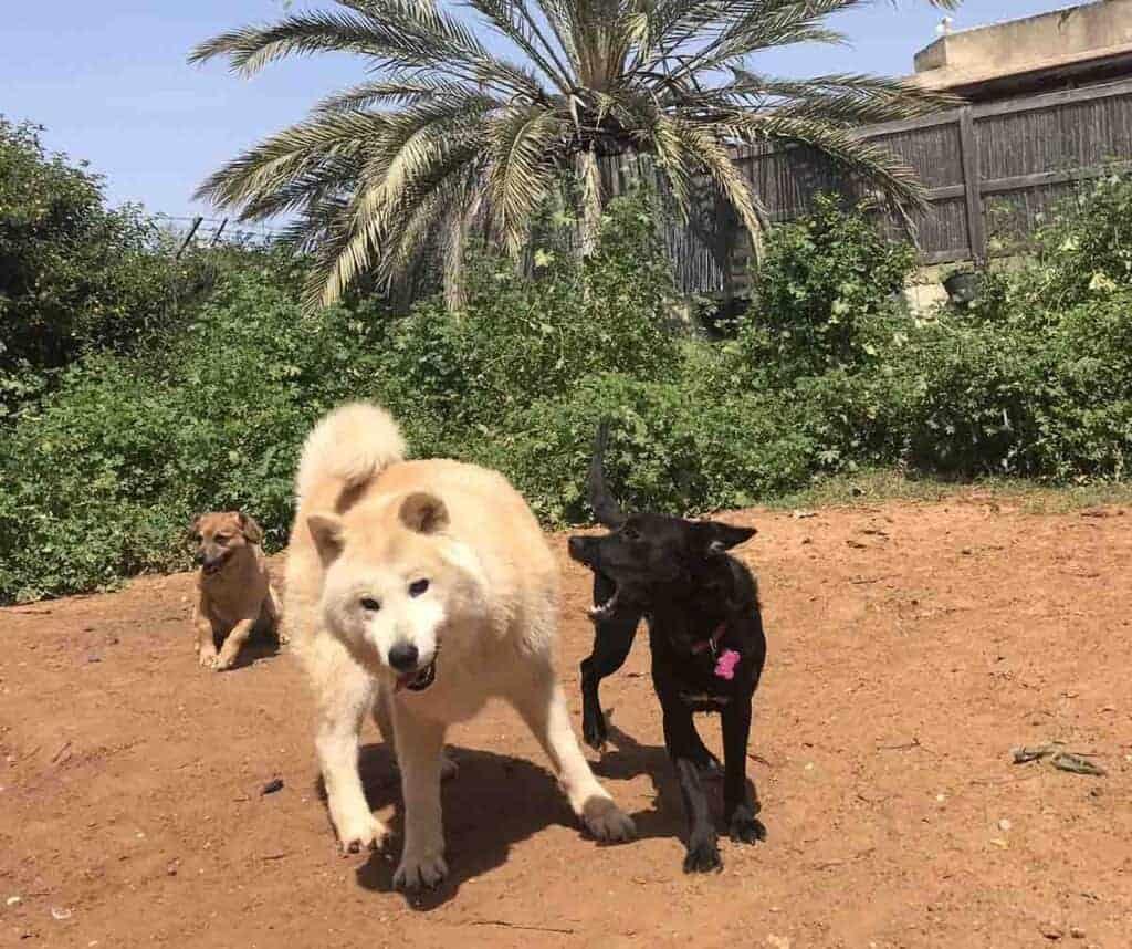כלבים דומיננטיים