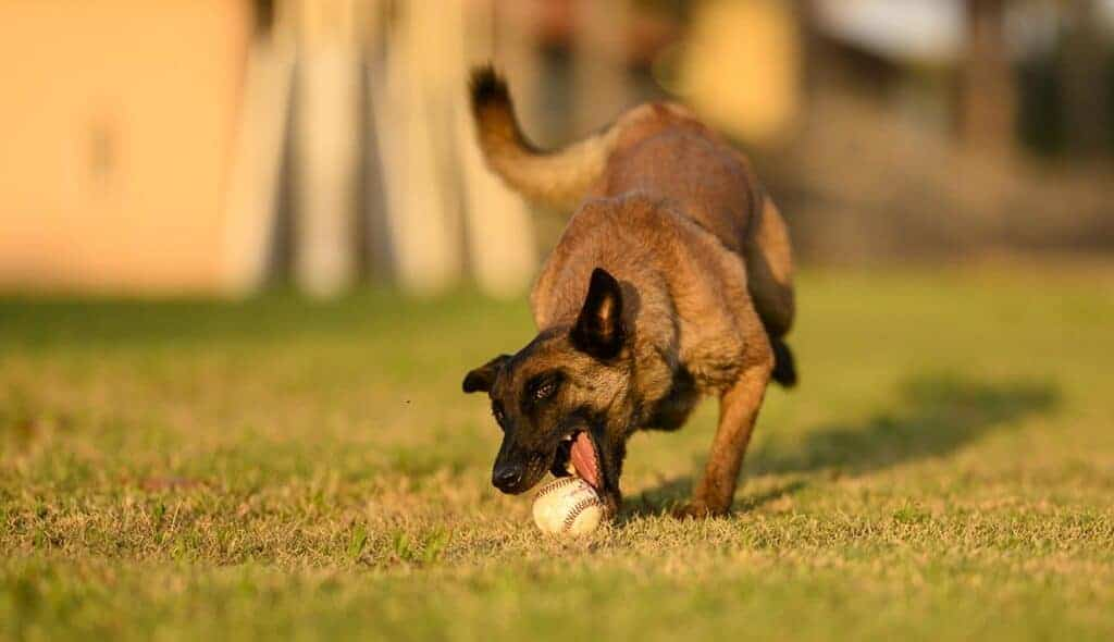 ללמד כלב להביא כדור